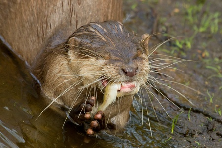 An otter is eating fish Stock Photo - 12699040