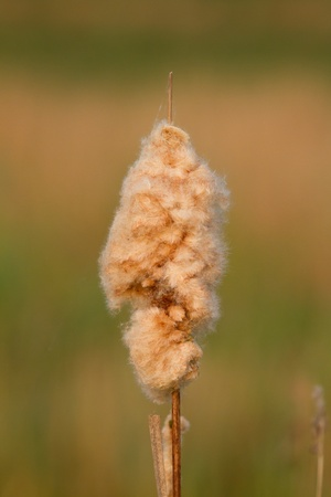 A reedmace in the winter