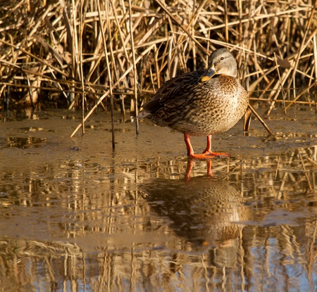 bedraggled: A wild duck is standing on the ice Stock Photo