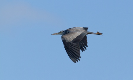 Great blue heron flying in the sky photo