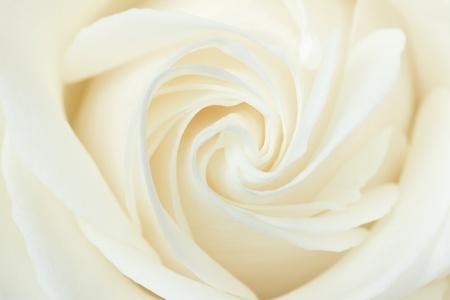 Un gros plan d'une rose blanche Banque d'images
