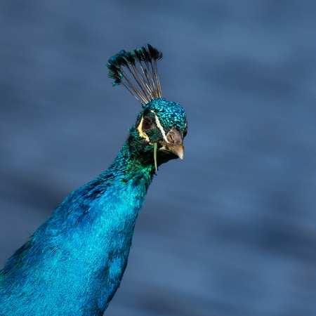 common peafowl: A colorful male peacock is eating grass Stock Photo