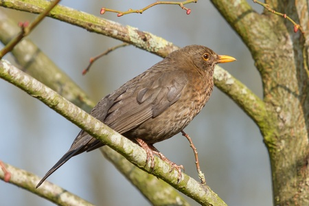 free stock photos: A female blackbird in a tree (Holland)