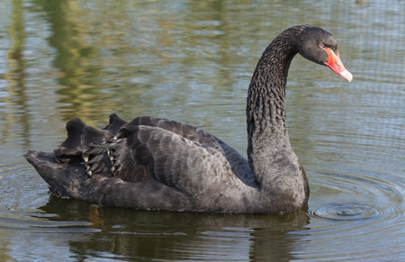 soulful eyes: A black swan is swimming in a dutch lake Stock Photo