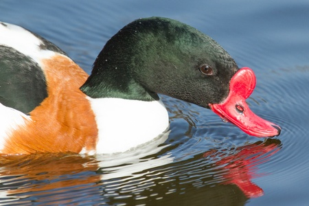 anseriformes: A common Shelduck is swimming in a dutch lake