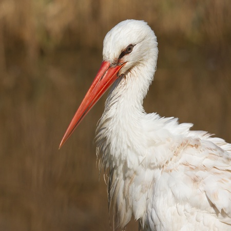 A close-up of a stork in its natural habitat Stock Photo - 13135078