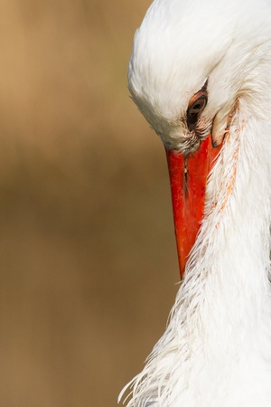 A close-up of a stork in its natural habitat Stock Photo - 13145186
