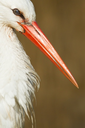 A close-up of a stork in its natural habitat photo