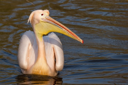 ludicrous: A swimming pelican in a dutch zoo Stock Photo