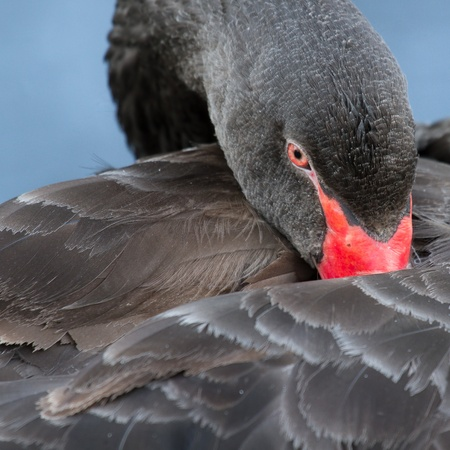 A black swan is sleeping in a dutch lake