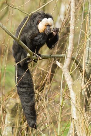 saki: White-faced Saki (Pithecia pithecia) or also known as Golden-face saki monkey is eating
