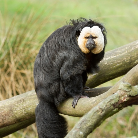 saki: White-faced Saki (Pithecia pithecia) or also known as Golden-face saki monkey in a dutch zoo