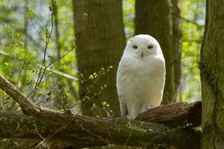 snowy owl: A snow owl in a dutch zoo