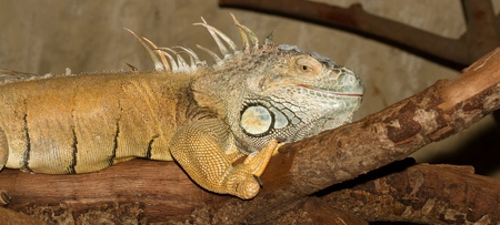 A green iguana in a dutch zoo photo