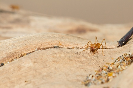 acromyrmex: A leaf cutter ant in a dutch zoo