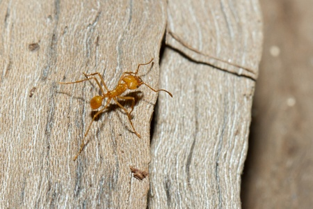 A leaf cutter ant in a dutch zoo photo