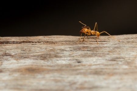 A leaf cutter ant in a dutch zoo photo
