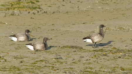 brent: Three Brent geese at the sea during lowtide