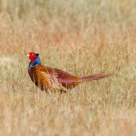 A common Pheasant in its natural habitat photo