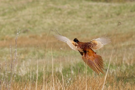 A common Pheasant is flying away (Holland)