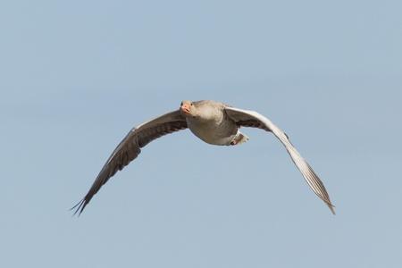 A greylag goose in flight (Schiermonnikoog, Holland) photo