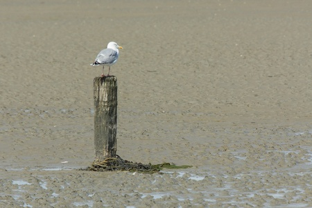 A herring gull on a pole during lowtide photo