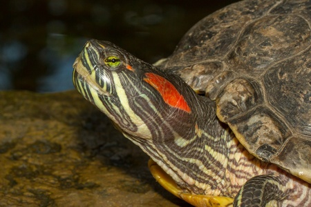 emys: A European pond terrapin is sitting on a stone