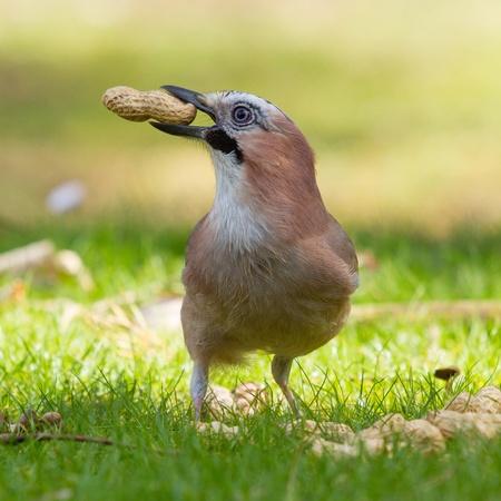 A Jay bird (Garrulus glandarius) is eating a peanut Stock Photo - 13552700