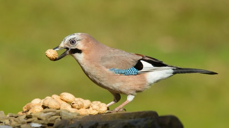 A Jay bird (Garrulus glandarius) is eating a peanut photo