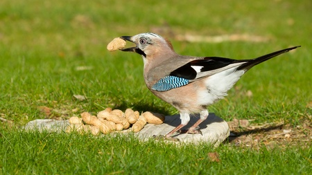 A Jay bird (Garrulus glandarius) is eating a peanut Stock Photo - 13548677