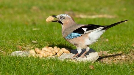 A Jay bird (Garrulus glandarius) is eating a peanut Stock Photo - 13548677