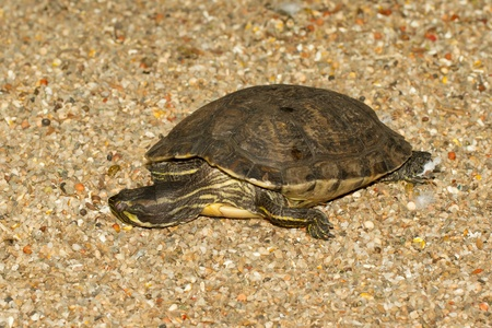 emys: A European pond terrapin is resting in the sand