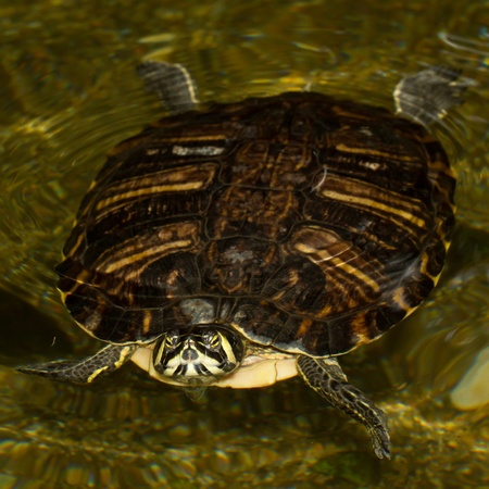 emys: A European pond terrapin is swimming in a pond