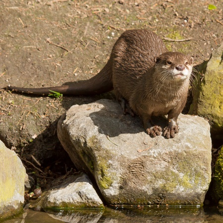 A wet otter is standing on a stone photo