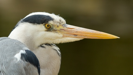 gracefully: A close-up of a great blue heron