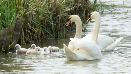 Cygnets are swimming in the water with their parents photo