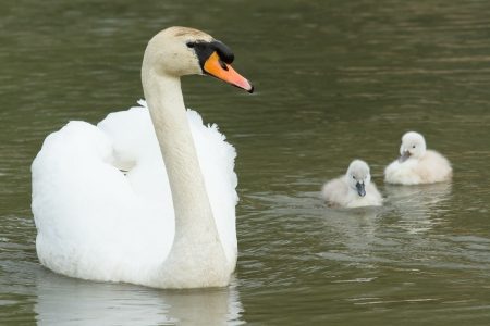 Cygnets are swimming in the water with their parent photo