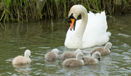 Cygnets are swimming in the water with their parent Stock Photo - 13661396