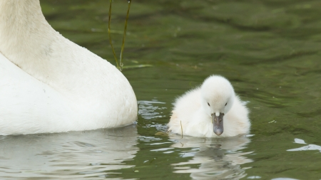 A cygnet is swimming in the water with its parent photo