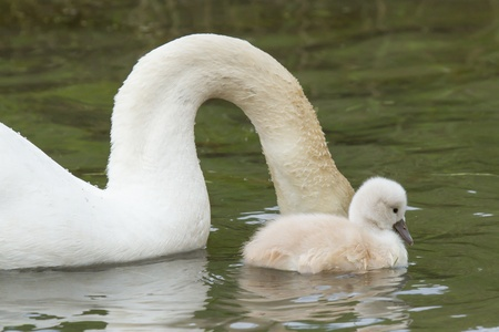 A cygnet is swimming in the water with its parent Stock Photo - 13661227