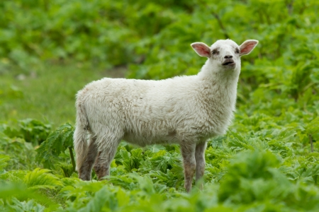 Little lamb in a wild green field Stock Photo - 13661410