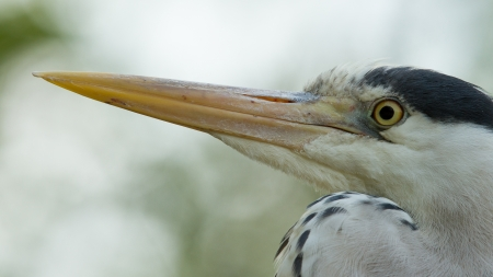 Close-up of a great blue heron (Holland) photo