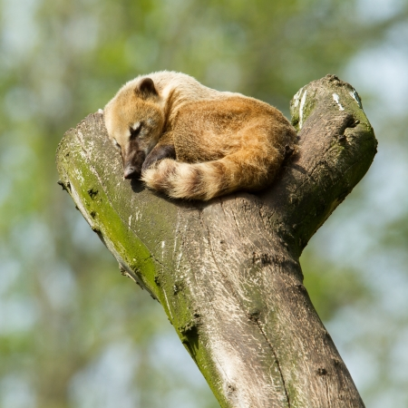 Sleeping coatimundi in a tree (zoo, Holland)