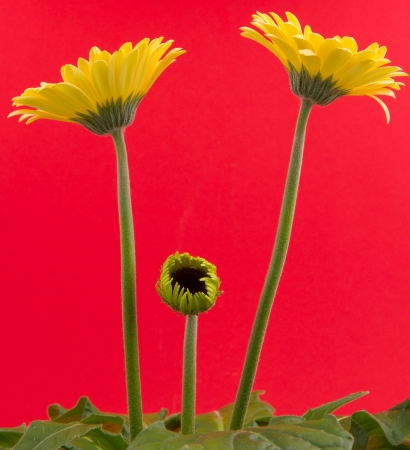 Yellow gerbera flower isolated on a red background photo