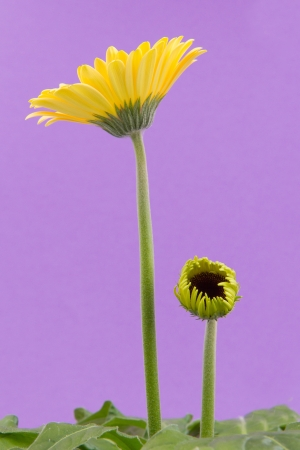 Yellow gerbera flower isolated on a purple background photo