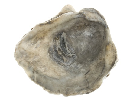 Large empty oystershell over a white background photo