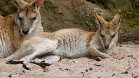jill: Two kangaroos resting in the sand (Holland) Stock Photo
