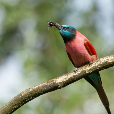 carmine: Northern Carmine Bee-Eater is eating a bumblebee Stock Photo