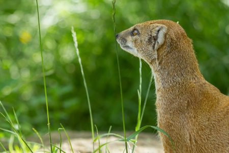Close-up of a yellow mongoose (cynictis penicillata) in captivity photo