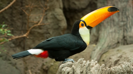 Toco Toucan is sitting on a rock photo